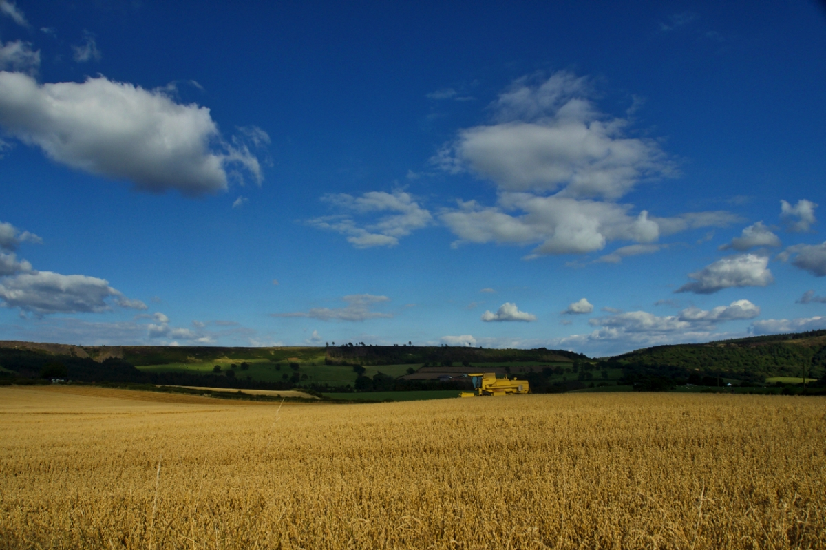 Blue sky, golden fields